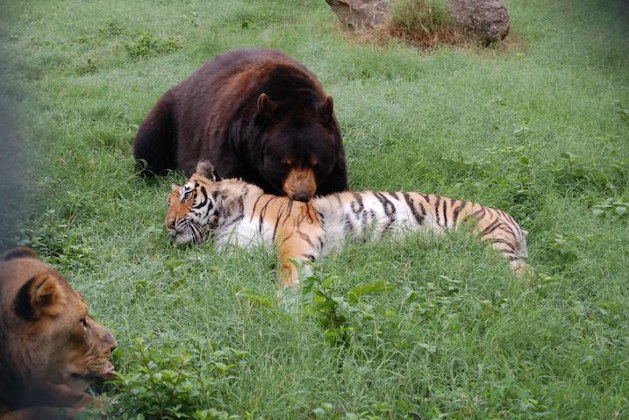 You'll Never Believe This Fascinating Inseparable Bond Between A Lion, A Tiger And A Bear. Just 3 Old Friends That Like To Hang Around Together. Really! No Photoshop Involved.