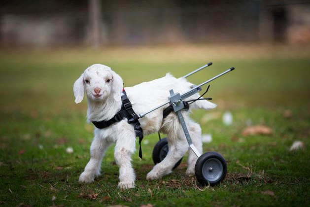 Frostie The Crippled Baby Snow Goat Gets A Fantastic New Wheelchair And Seems So Happy That It Makes Me Want To Cry!